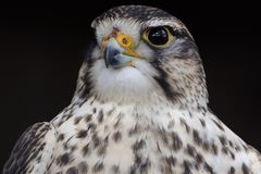 Saker Falcon ( Falco cherrug ) Royalty Free Stock Photo