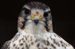 Saker Falcon ( Falco cherrug ) Stock Images