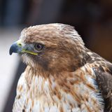 The Saker Falcon - Falco cherrug Stock Photography