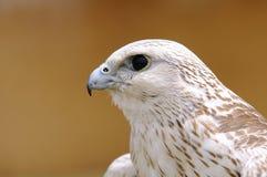 Saker falcon, Falco cherrug. Royalty Free Stock Image