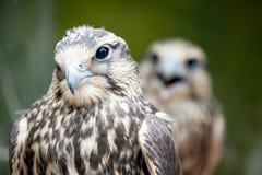 Saker Falcon, Falco cherrug, close-up portrait. Birds of prey stock photos