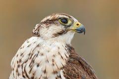 Saker falcon, Falco cherrug, detail portrait of bird of prey. Rare bird with white head. Forest in cold winter, animal in nature stock photo