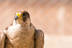 Saker falcon. Falco cherrug. Falcon close up in Arab Stock Images