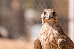 Saker falcon. Falco cherrug. Falcon close up in Arab Royalty Free Stock Image