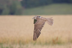 Saker falcon (Falco cherrug). Stock Photography