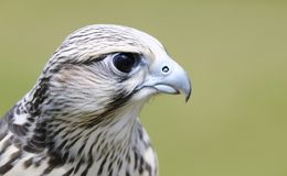 Saker falcon, Falco cherrug. Royalty Free Stock Photo