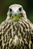 Saker Falcon (Falco Cherrug). This large falcon is looking directly into the camera Stock Photography