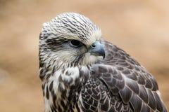 Saker Falcon Stock Image