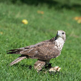 Saker falcon (Falco cherrug) portrait Royalty Free Stock Photo