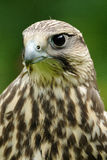 Saker Falcon (Falco Cherrug). This is a portrait of a large falcon Royalty Free Stock Image