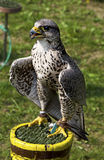 Saker falcon, Falco cherrug Stock Photography
