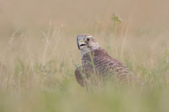 Saker falcon (Falco cherrug). Stock Photos