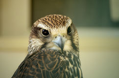 Saker falcon. Falco cherrug. Wild animal in the zoo. Royalty Free Stock Image