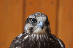 Saker falcon (Falco cherrug). Stock Photo
