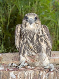 Saker falcon (Falco cherrug) Royalty Free Stock Images