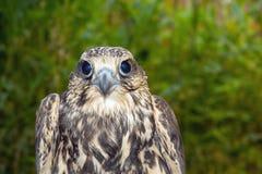 Saker falcon (Falco cherrug) Stock Images