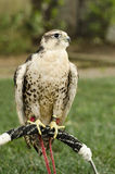 Saker falcon Stock Photography