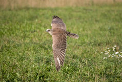 Saker falcon in flight. Saker falcon flying over a field whilr being trained Royalty Free Stock Photography