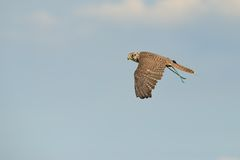 Saker Falcon in flight Royalty Free Stock Image