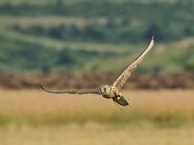 Saker Falcon in flight. A trained male Saker Falcon with attached radio transmitter to the tail is flying over the field Royalty Free Stock Images