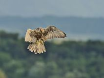 Saker Falcon in flight Stock Images
