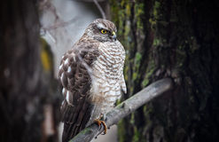 Saker falcon in the forest Stock Photos