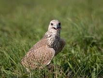 Saker falcon in grass. Saker falcon sitting in a field having break during training Royalty Free Stock Photo