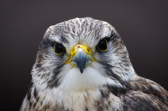 Saker falcon. Head shot of Saker falcon, Falco cherrug, looking directly at the viewer Stock Image