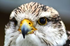 Saker falcon head shot Stock Photos