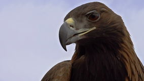 Saker Falcon Head stock video footage