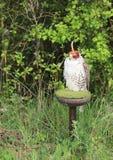 Saker falcon hunting Royalty Free Stock Photo