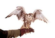 Free Saker Falcon Isolated On White Stock Image - 42182271