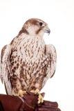 Saker Falcon isolated on white Stock Photos