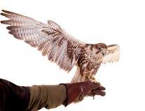 Saker Falcon isolated on white Stock Photo