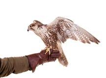 Saker Falcon isolated on white Stock Photography