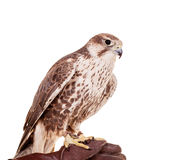 Saker Falcon isolated on white Stock Photos