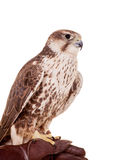 Saker Falcon isolated on white Royalty Free Stock Photos