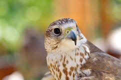 Saker falcon portrait (Falco cherrug) Royalty Free Stock Images