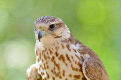 Saker falcon portrait (Falco cherrug) Royalty Free Stock Photography