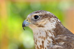 Saker falcon portrait (Falco cherrug) Stock Photo