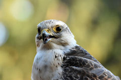 Saker falcon. Portrait of a saker falcon in a falconry royalty free stock photo
