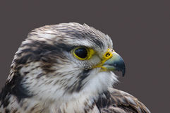 Saker falcon profile Royalty Free Stock Images