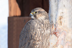 Saker falcon sitting at the branch tree. Closeup Royalty Free Stock Photos
