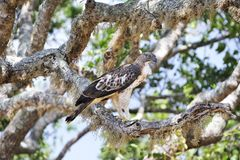 Saker falcon. On the tree Stock Images