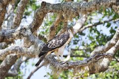 Saker falcon. On the tree Royalty Free Stock Photography