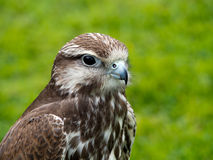 Saker falk, framsidaprofil fågeln ber Royaltyfria Bilder