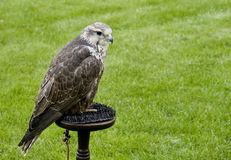 Saker Falke (Falco cherrug) Stockfotografie