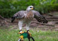 Saker hawks eagle Royalty Free Stock Images