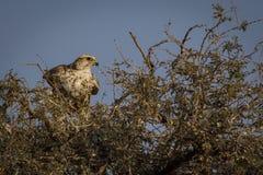 Saker jastrz?bka zbli?enia krajowy ptak odwiedza bikaner mangolia, Rajasthan ind zdjęcia stock