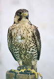 Saker Peregrine cross Falcon Royalty Free Stock Photography